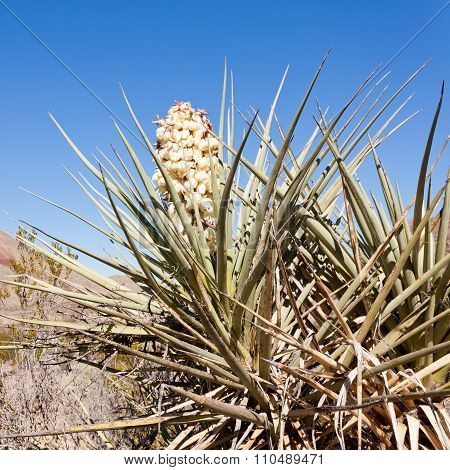 Torrey Yucca Flower Blooming Chihuahuan Desert