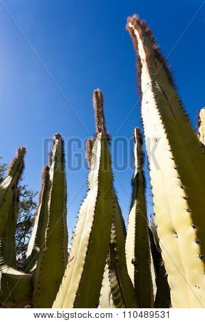 Senita Cactus Lophocereus Schottii In Sonoran Desert