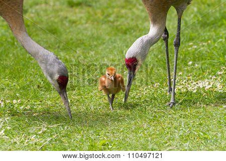 Sandhill Crane And Baby Chick