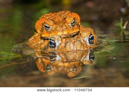 Two Cane Toads (bufo Marinus) Mating