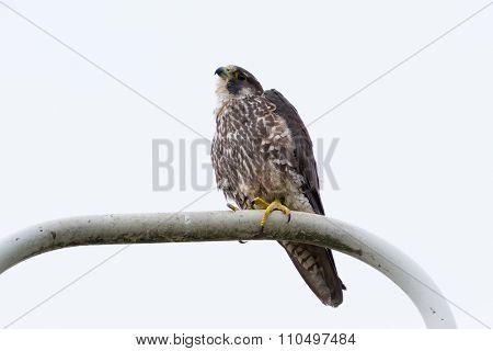 Peregrine Falcom