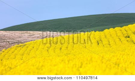 Yellow Canola Flower