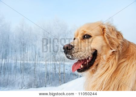 Portrait of a funny golden retriever in the snow poster