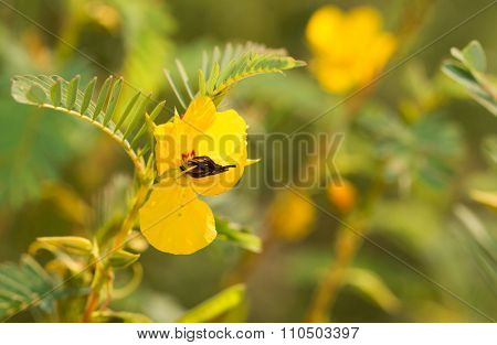 Yellow flower of Partridge Pea on a sunny summer meadow