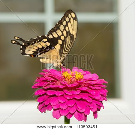 Giant Swallowtail on a pink flower, framed by a window on background