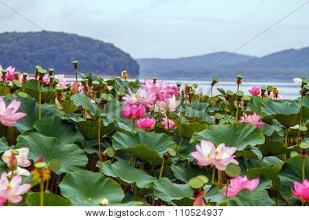 Lake with lotuses. Water is a rare and delicate flowers.