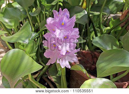 Flower Water Hyacinth