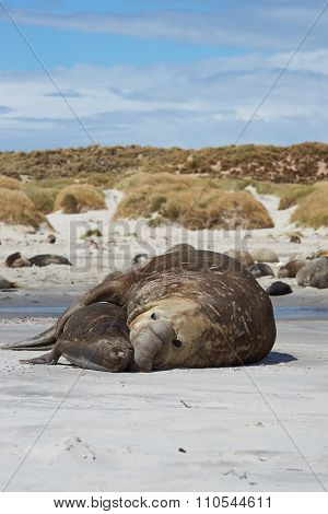 Elephant Seals Mating