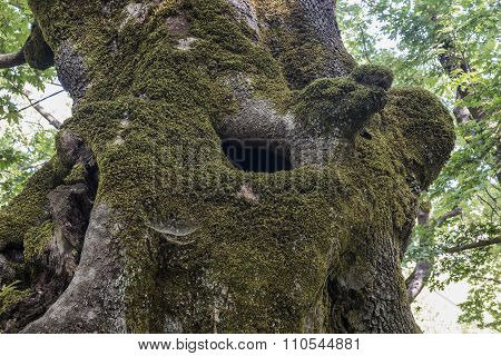 The hollow of the old sycamore
