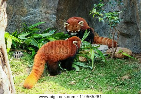 Two cute red pandas eating bamboo