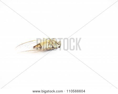 Cicada Carcass, Turning Stomach Up, Isolated On White Background