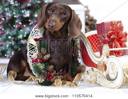 Christmas  dachshund puppy