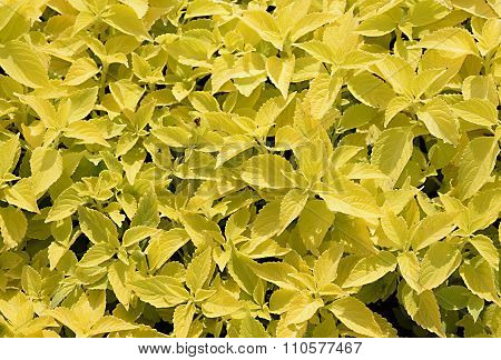 Yellow and green leaf coleus background