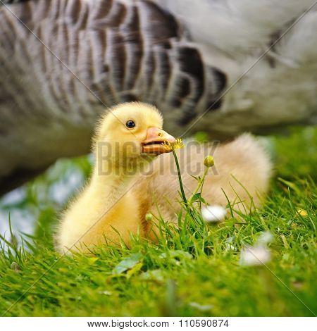 Portrait of a Gosling resting On Grass, Netherlands