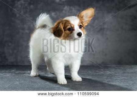 Portrait Of A Cute Puppy Breed Papillon