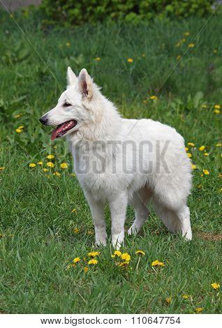 Portrait of wonderful white suisse shepherd