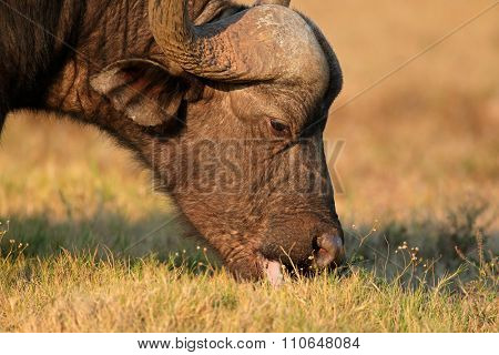 Portrait of a feeding African or Cape buffalo (Syncerus caffer), Addo National park, South Africa