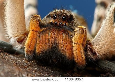 Portrait Of Dangerous Creepy Tarantula