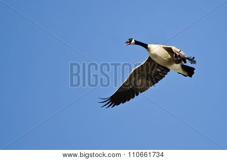 Canada Goose Honking While Flying In A Blue Sky