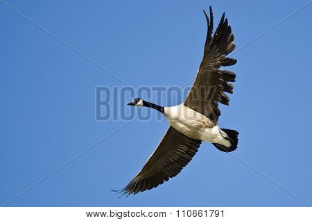 Canada Goose Flying With A Tattered Wing In A Blue Sky