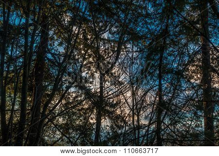 Evergreen Silouette