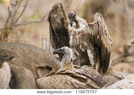 Cape Vultures on a dead buffalo In Kruger National Park