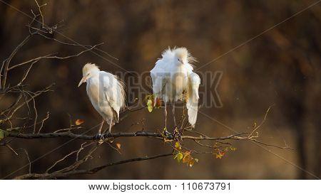 Cattle Egret In Kruger National Park
