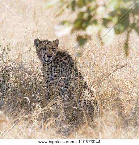 two Cheetahs in savannah In Kruger National Park