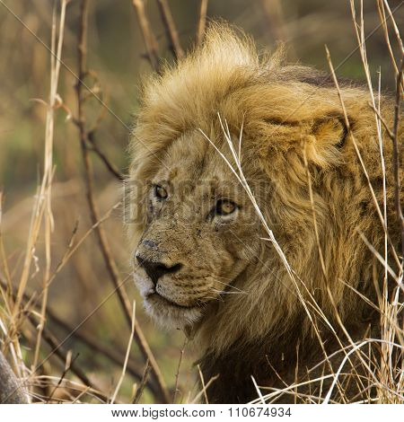 portrait of a male Lion In Kruger National Park