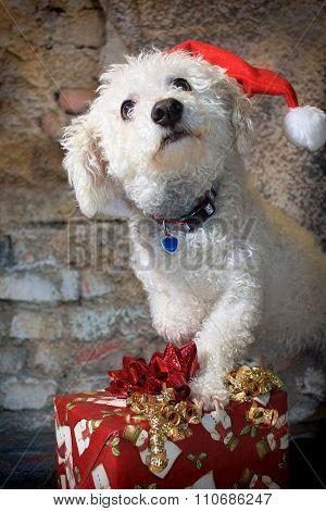 Bichon Frise Dog Wearing A Santa Hat