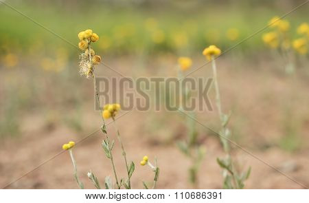 Australian Spring Wildflowers Background Yellow Billy Buttons Woollyheads