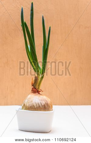 Onion Bulb With Chives Fresh Green Sprout