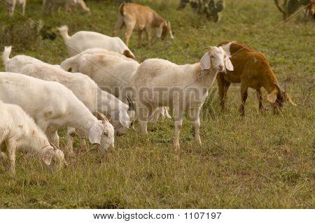 Goat Looks Up