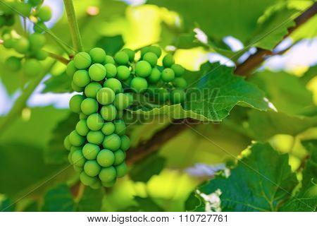 Unripened Green Grape