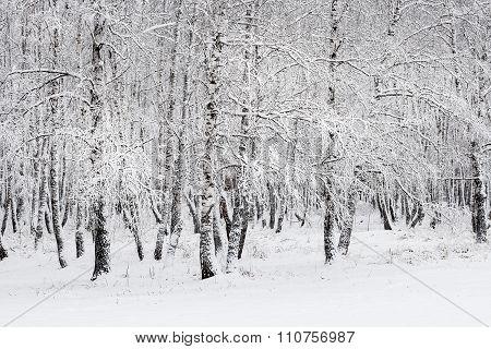 Winter landscape, birch grove