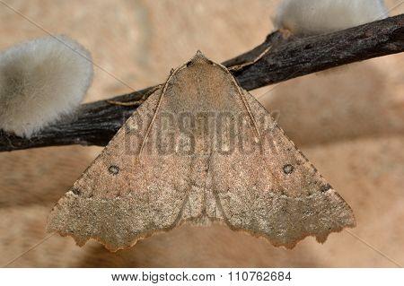 Scalloped hazel moth (Odontopera bidentata) at rest