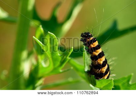 The cinnabar moth (Tyria jacobaeae) caterpillar on ragwort