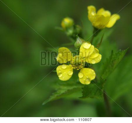 Dewy Yellow Petals