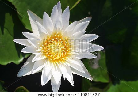 Water Lily On A Lake Among A Green Leaves