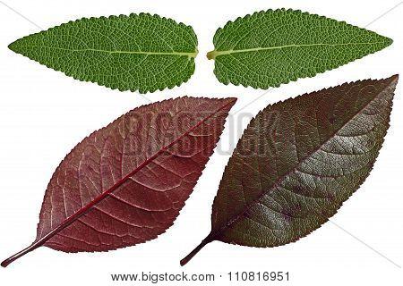 Salvia And Purple Cherry Leaf