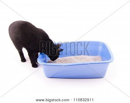 Black cat sniffing sand in her litter box before going in, on white