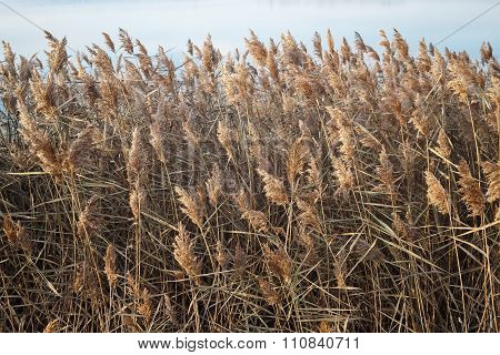 Thickets Of Dry Reed