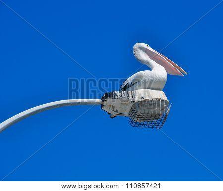 Australian Pelican: Elongated Beak