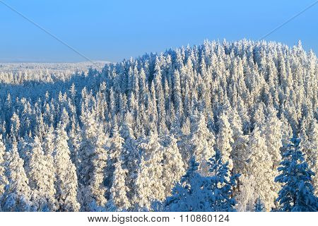 Snowy Trees In Winter Forest