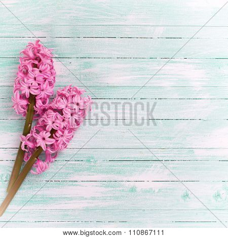 Two Fresh Pink Hyacinths Flowers  On  Turquoise Painted Wooden Background.