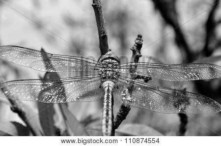 Anax imperator black and white