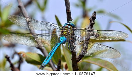 Blue dragonfly Anax imperator