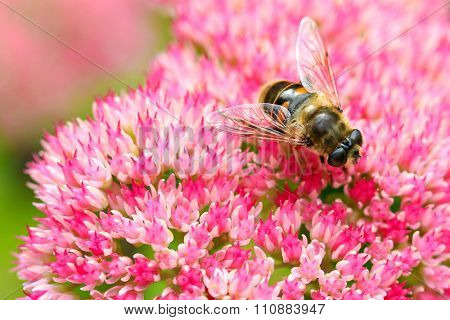 Closeup of a bee enjoying the The star-shaped pink flowers - Fette Henne (Sedum spectabile)