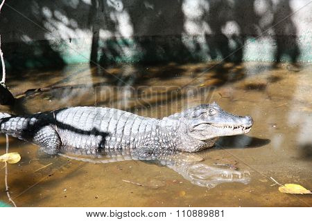 Aligator in swamp pool