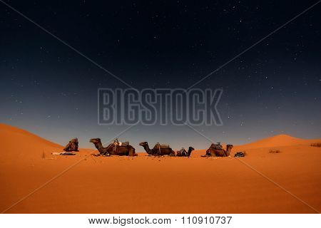 Camels in Merzouga dunes